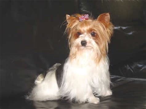 do yorkies change color yorkie colors 28 images best 25 terrier haircut ideas on blue and gold yorkie