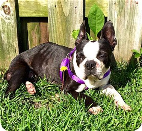 boston terrier puppies up for adoption pollocksville nc boston terrier meet gidget a for adoption