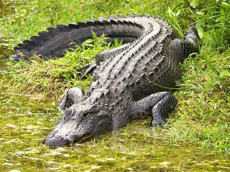 There are alligator skin patterns out there, but they look ...