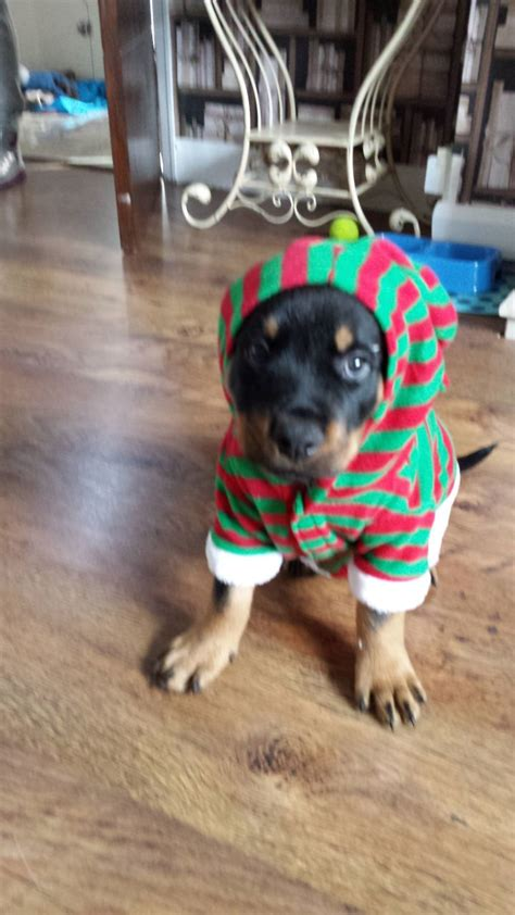 rottweiler puppies for sale manchester rottweiler puppy for sale manchester greater manchester pets4homes
