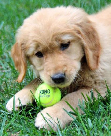my golden retriever is not 17 best images about dogs on golden dachshund puppys and