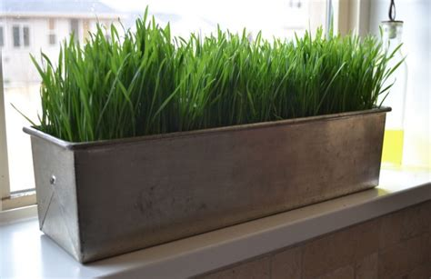 easy grow wheatgrass 78 best images about indoor green design ideas on
