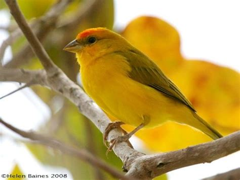 orange fronted yellow finch the birds the bees pinterest