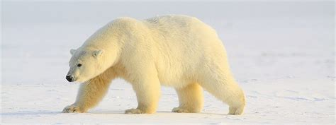 underwater polar bear slider puzzle html5 slideshow luxury slices exle
