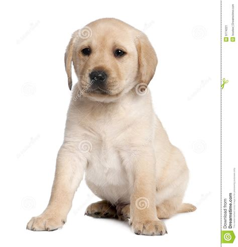 6 week puppy labrador puppy 6 weeks stock image image of sitting baby 9774221
