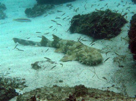 squalo tappeto squalo tappeto maculato marepesca
