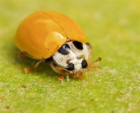 orange ladybug by jon garcia 500px