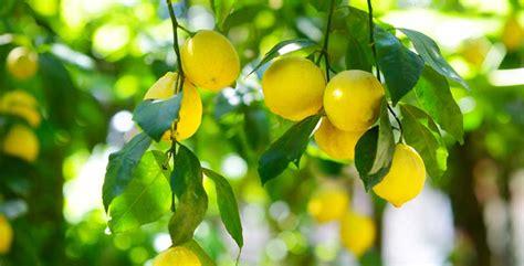 potatura limone vaso quando si potano i limoni in vaso