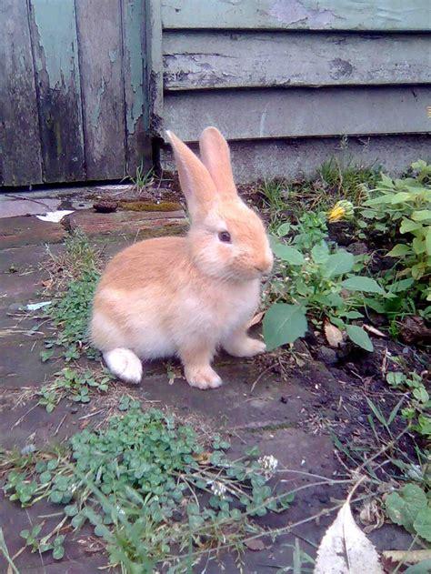 Baby Flamish baby flemish rabbits www imgkid the image