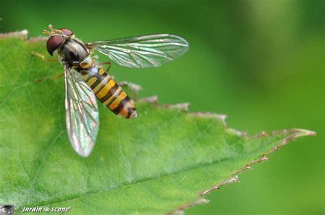 les syrphes des insectes auxiliaires pr 233 cieux au jardin