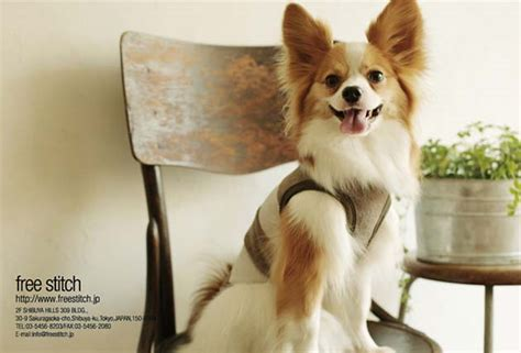 papillon and pomeranian mix free stitch rakuten global market 2010 ss chihuahua and pomeranian mix postcards 9