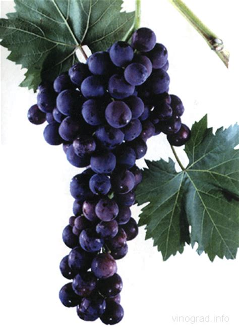 cardinal table grape variety