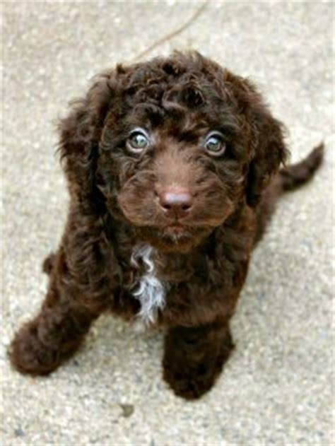 labradoodle puppies for sale in sc australian labradoodle breeder labradoodle puppies in south carolina for sale
