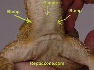 How Can U Determine The Gender Of Your Baby gallery for gt bearded dragon hemipenes