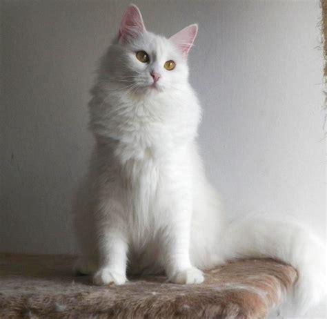 fotos de gatos gatos angora gemelos jpg pictures to pin on pinterest gatos angora turco taringa