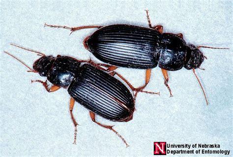 Finding Bed Bugs Pest Identification Pestanators Pest Control