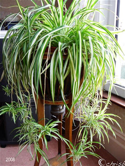 spider plant low light here s how plant cuttings can provide more free plants