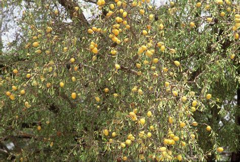 argan tree fruit photo album ruth hajioff s wood groves