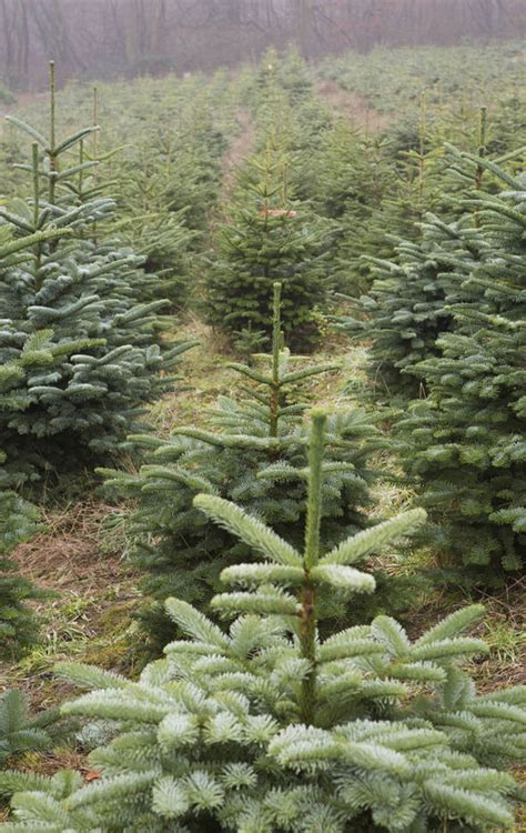 who introfuced christmas trees to britisn trees from europe flooding market sold by rogue traders are gappy and shoddy uk
