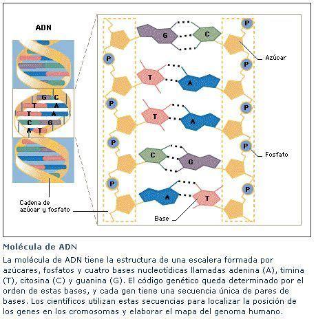 numero de cadenas del adn adn adn