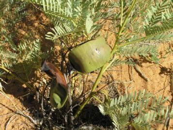 tsammalex elephantorrhiza elephantina (elephant root)