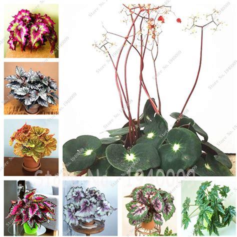 aliexpress buy 20 bag begonia popular begonia seed buy cheap begonia seed lots from