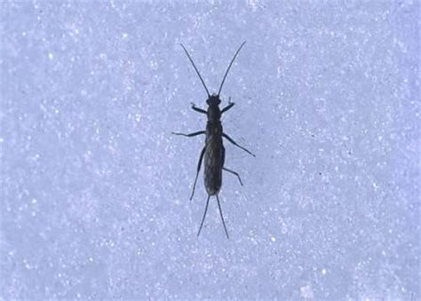 Small Flying Insects At Home Winter Stoneflies Sure Are Supercool Scientific American