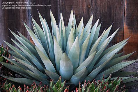 plantfiles pictures agave species chisos agave harvard