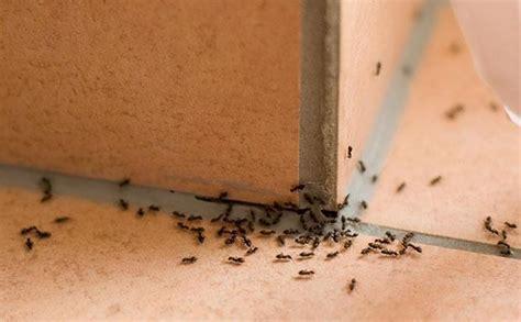 formiche in casa come eliminarle rimedi anti formiche