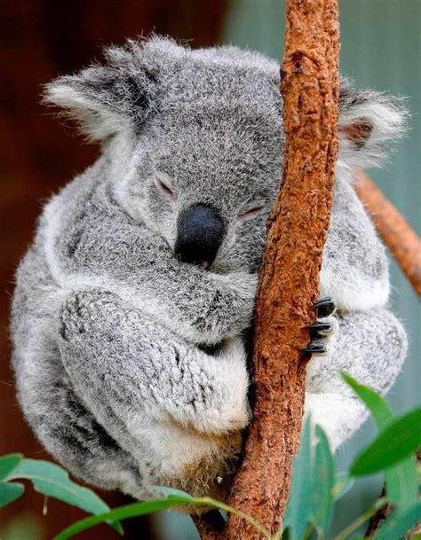 koala schlaf australien wirtschaftet sehr solide und plant sogar ein