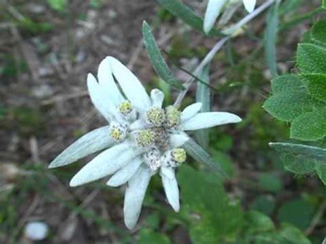 stelle alpine in vaso stella alpina fiori e piante della montagna bellunese 13