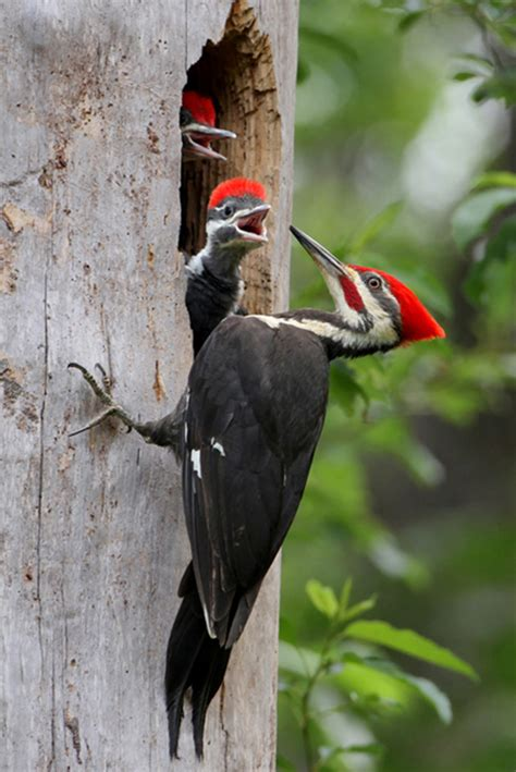 photo of the day pileated woodpecker audubon