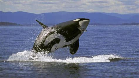 Blue Whale By Savana Krupicka Whale Weigh