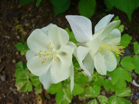 white columbine beautiful flowers pinterest