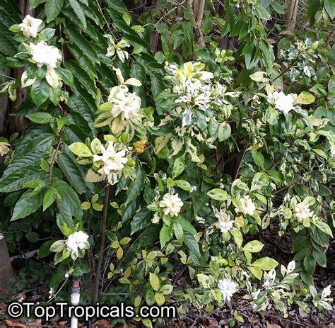 Gardenia Bush Size Gardenia Sp Variegata Variegated Gardenia Toptropicals