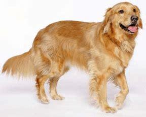 haired golden retriever puppies breed golden retriever gun