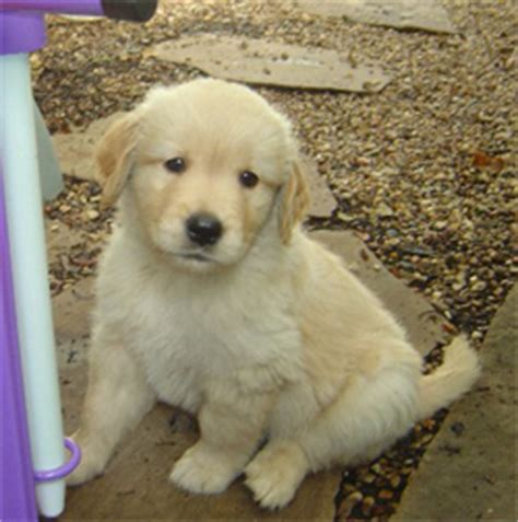 golden retriever breeders dallas tx golden retriever puppies for sale dallas tx dogs our friends photo
