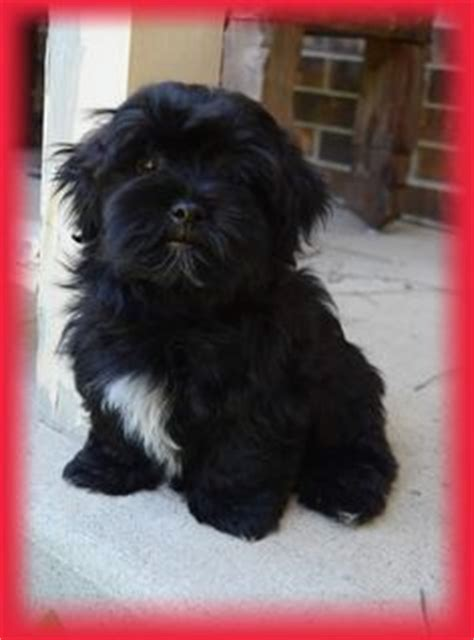 havanese puppies raleigh nc 1000 ideas about havanese puppies on havanese puppies for sale puppies