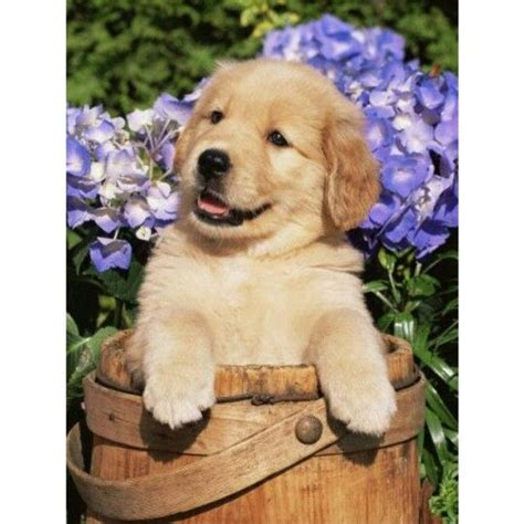 span of a golden retriever 17 best images about d s golden delights golden retriever breeder on