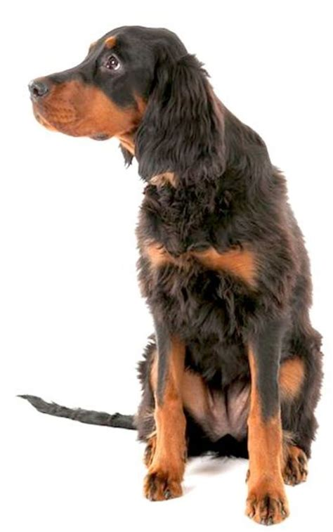 setter dog family gordon setters are devoted to their family members and