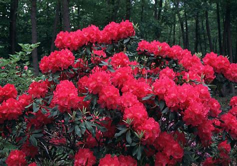 beechwood landscape architecture and construction spring parade rhododendron evergreen shrub