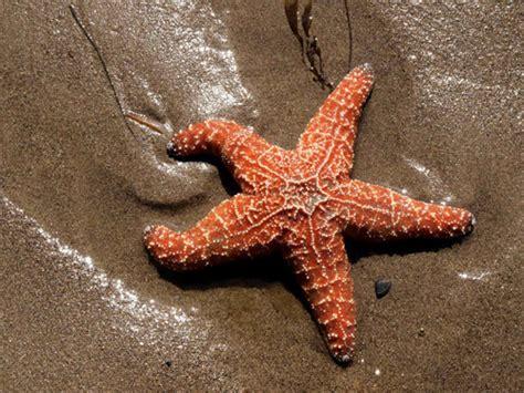 starfish images 35 beautifully captured starfish pictures naldz graphics