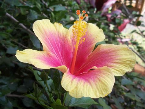 official state flowers exotic hawaiian flowers hibiscus hawaiius official state