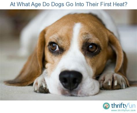 when do puppies go into heat at what age do dogs go into their heat thriftyfun