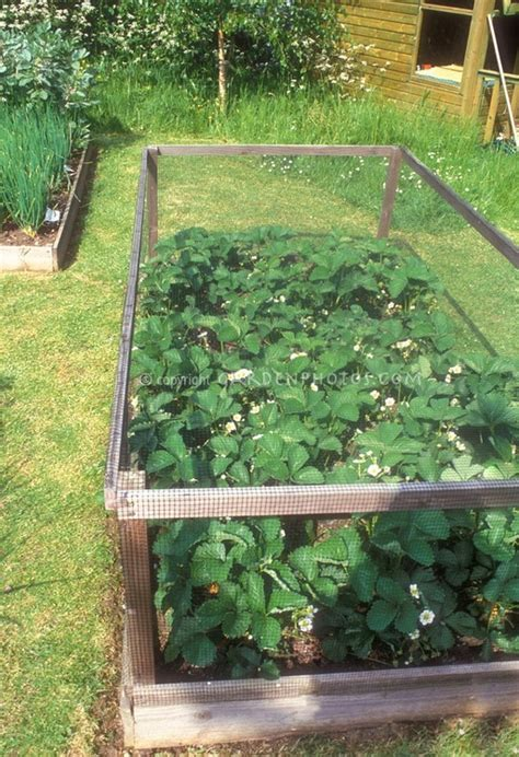 how to plant strawberries in a raised bed strawberry plant protecter garden raised beds and plans