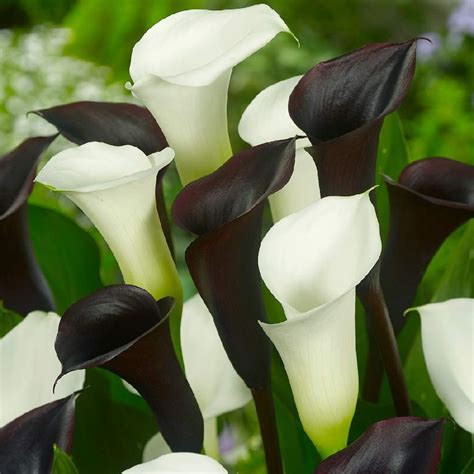 calla lily bulbs quot black white mix quot