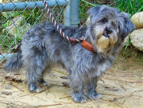 shih tzu blue shih tzu breed 187 information pictures more