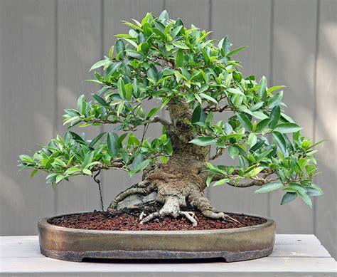 bonsai da appartamento bonsai da appartamento il ficus benjamina florablog