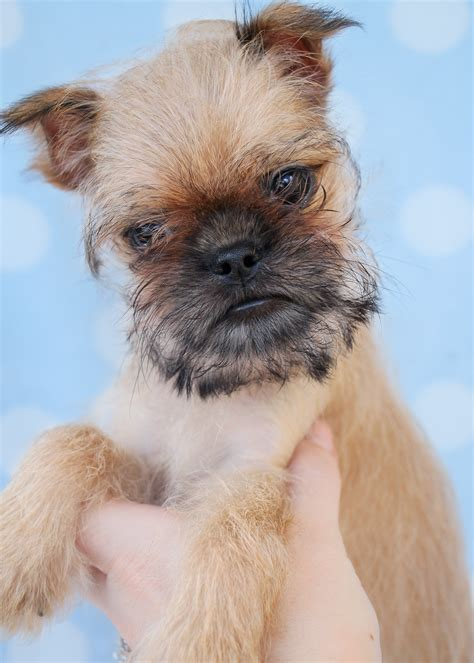 teacup brussels griffon puppies for sale brussels griffon puppy for sale south florida teacups puppies boutique