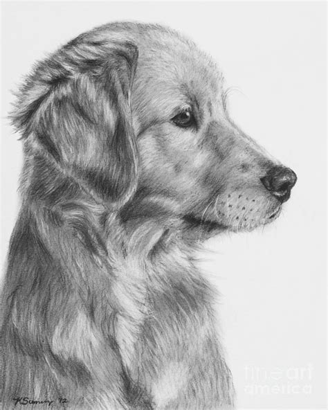 drawing of a golden retriever golden retriever puppies drawings breeds picture